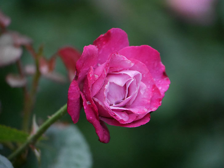 ミュリエル・ロバン(Muriel Robin)の2番花がまた咲いた。木立バラ。2020年-003.jpg