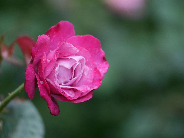 ミュリエル・ロバン(Muriel Robin)の2番花がまた咲いた。木立バラ。2020年-004.jpg
