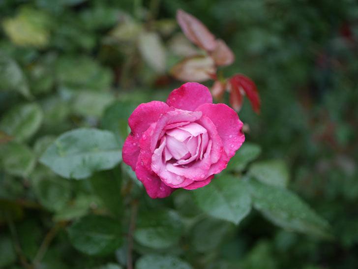 ミュリエル・ロバン(Muriel Robin)の2番花がまた咲いた。木立バラ。2020年-005.jpg