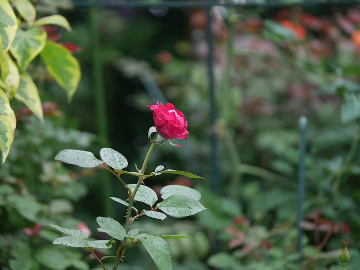 ミュリエル・ロバン(Muriel Robin)の2番花が咲いた。木立バラ。2020年-001.jpg