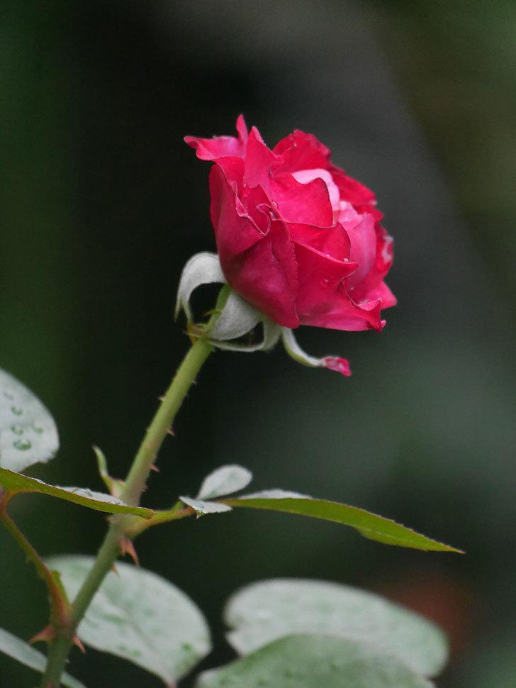 ミュリエル・ロバン(Muriel Robin)の2番花が咲いた。木立バラ。2020年-004.jpg