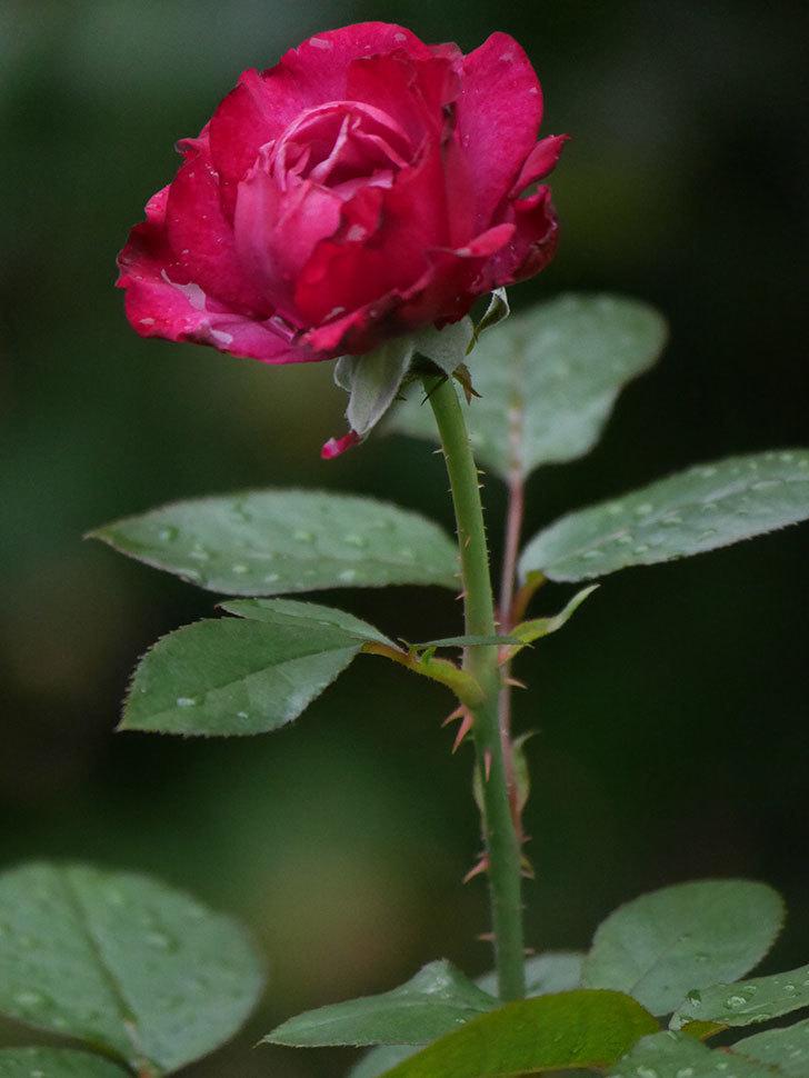 ミュリエル・ロバン(Muriel Robin)の2番花が咲いた。木立バラ。2020年-012.jpg