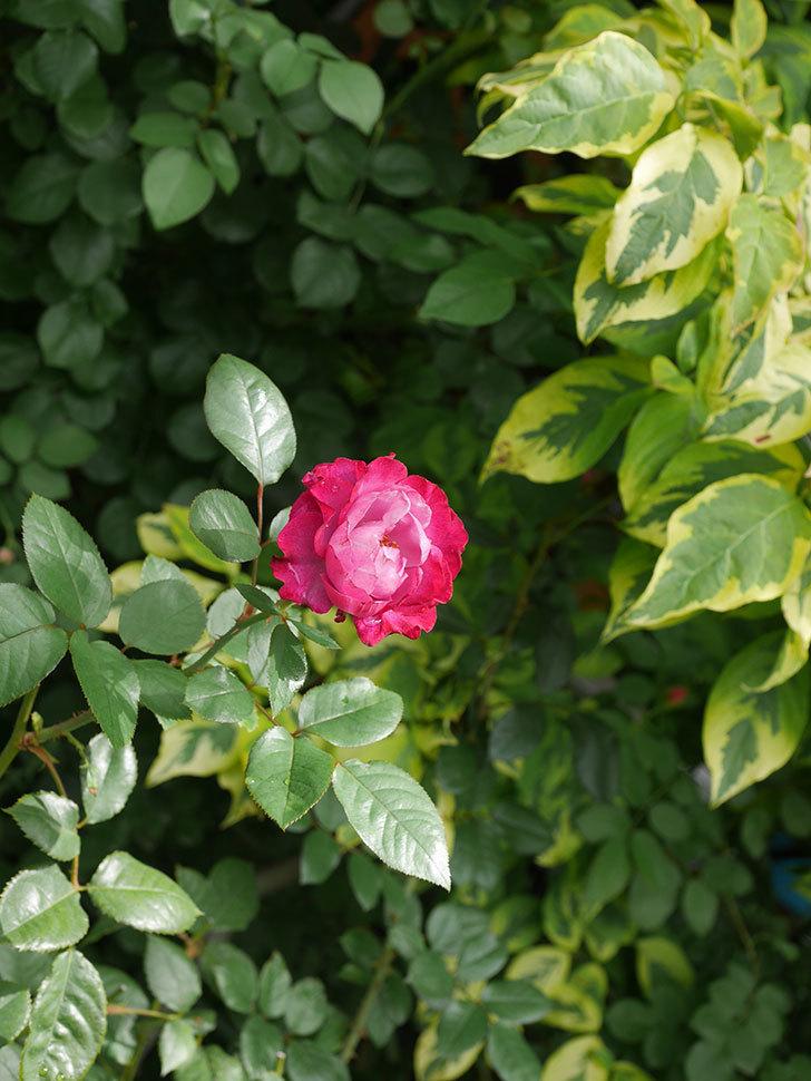 ミュリエル・ロバン(Muriel Robin)の2番花が咲いた。木立バラ。2020年-013.jpg