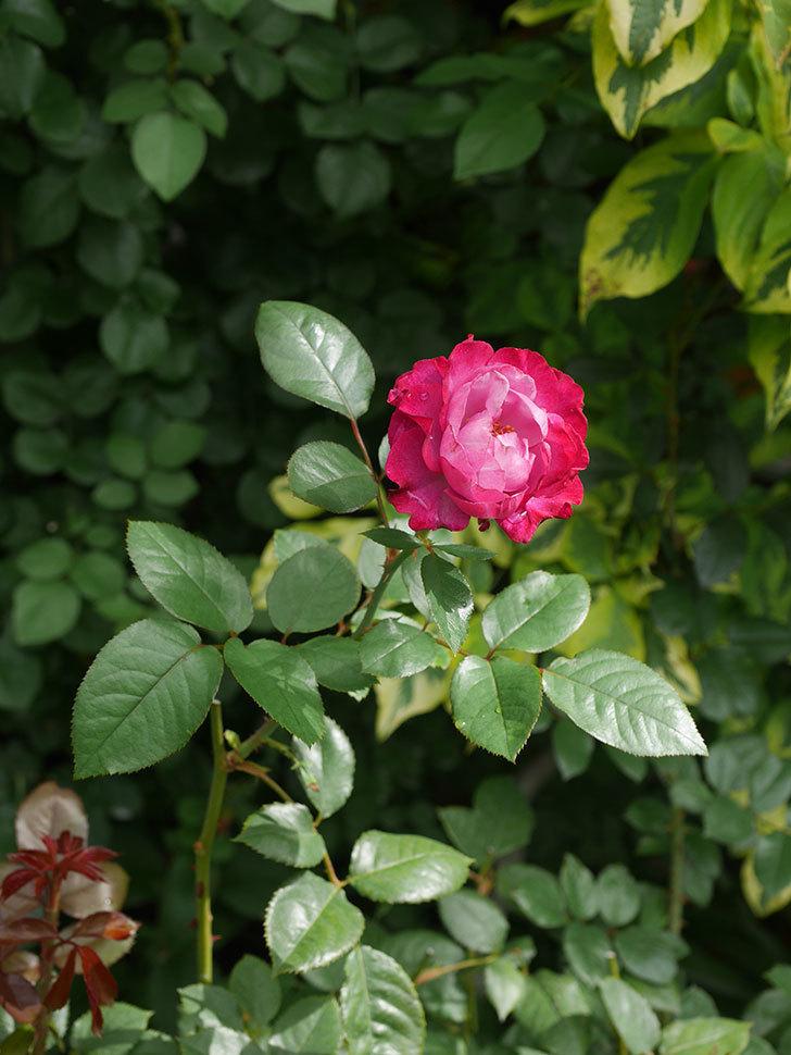 ミュリエル・ロバン(Muriel Robin)の2番花が咲いた。木立バラ。2020年-014.jpg