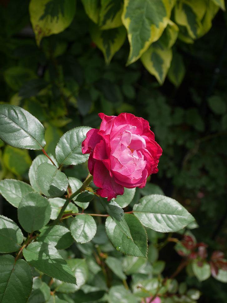ミュリエル・ロバン(Muriel Robin)の2番花が咲いた。木立バラ。2020年-015.jpg