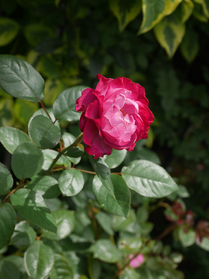 ミュリエル・ロバン(Muriel Robin)の2番花が咲いた。木立バラ。2020年-016.jpg