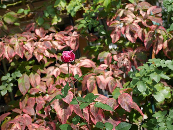 ミュリエル・ロバン(Muriel Robin)の秋花が咲いた。木立バラ。2020年-002.jpg