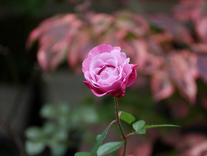 ミュリエル・ロバン(Muriel Robin)の秋花が咲いた。木立バラ。2020年-003.jpg