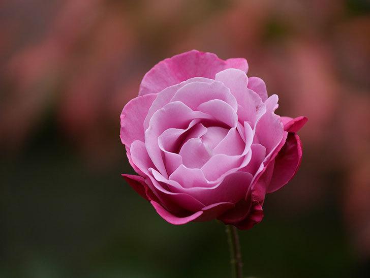 ミュリエル・ロバン(Muriel Robin)の秋花が咲いた。木立バラ。2020年-005.jpg