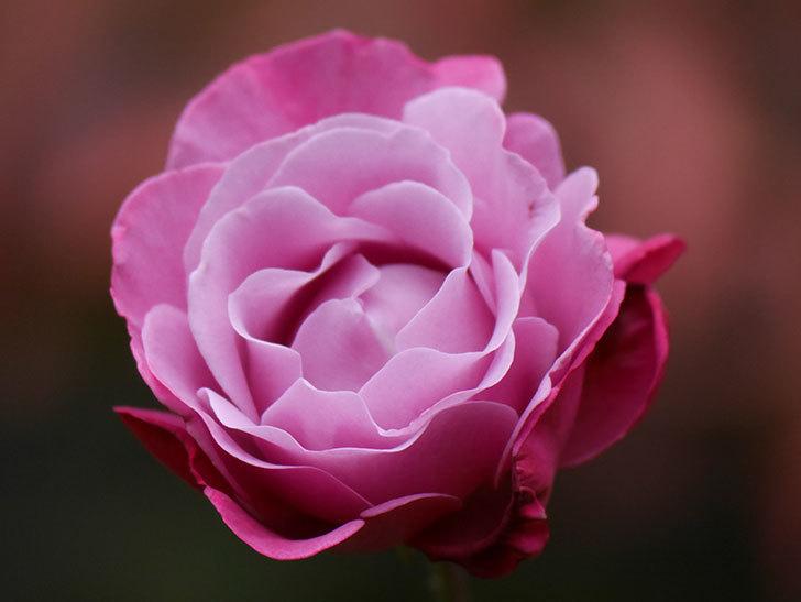 ミュリエル・ロバン(Muriel Robin)の秋花が咲いた。木立バラ。2020年-006.jpg