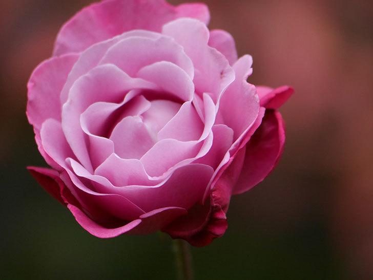 ミュリエル・ロバン(Muriel Robin)の秋花が咲いた。木立バラ。2020年-007.jpg
