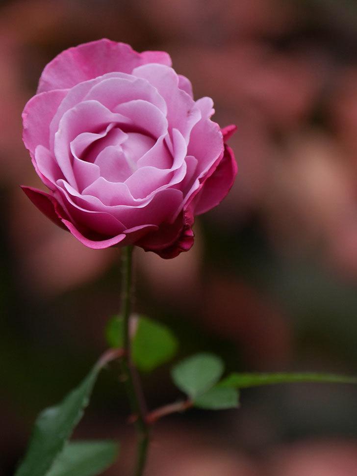 ミュリエル・ロバン(Muriel Robin)の秋花が咲いた。木立バラ。2020年-008.jpg