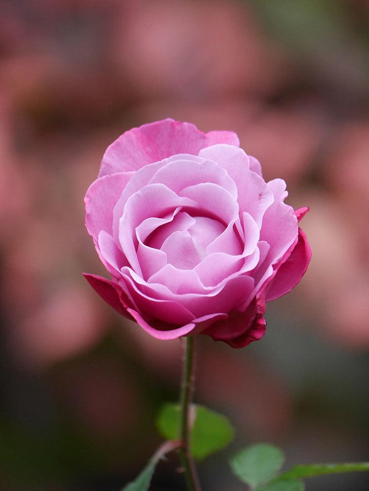 ミュリエル・ロバン(Muriel Robin)の秋花が咲いた。木立バラ。2020年-010.jpg