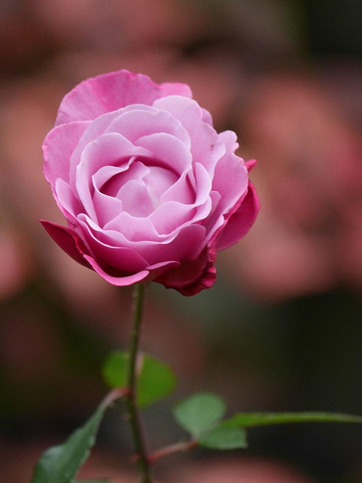 ミュリエル・ロバン(Muriel Robin)の秋花が咲いた。木立バラ。2020年-011.jpg