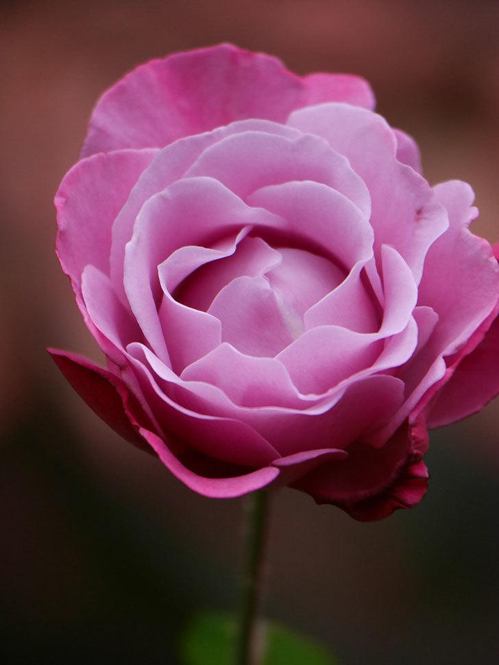 ミュリエル・ロバン(Muriel Robin)の秋花が咲いた。木立バラ。2020年-012.jpg