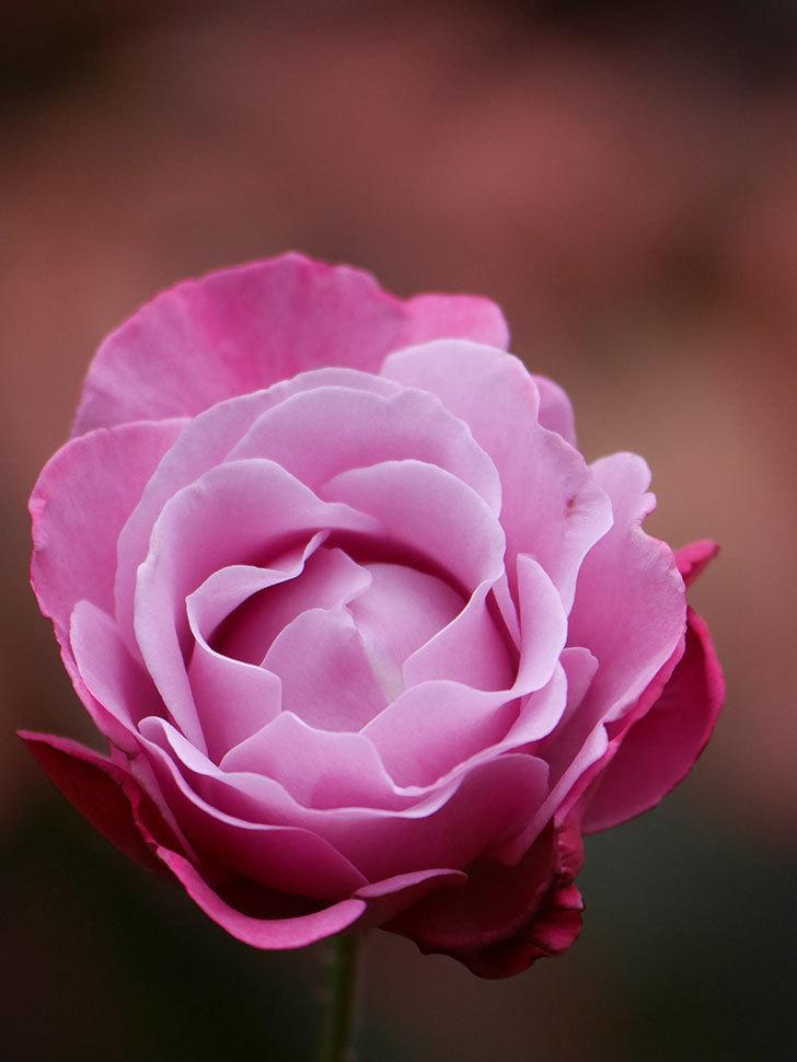 ミュリエル・ロバン(Muriel Robin)の秋花が咲いた。木立バラ。2020年-014.jpg