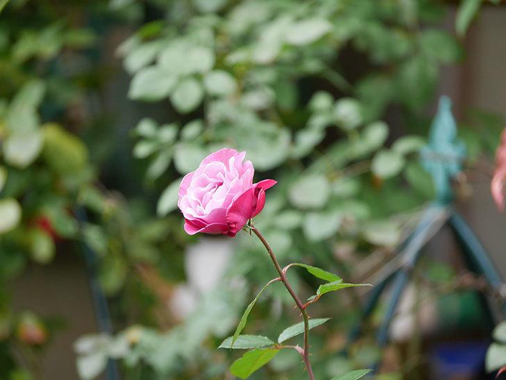 ミュリエル・ロバン(Muriel Robin)の秋花が咲いた。木立バラ。2020年-016.jpg