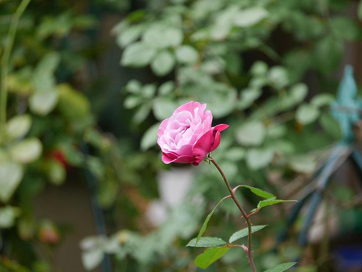 ミュリエル・ロバン(Muriel Robin)の秋花が咲いた。木立バラ。2020年-017.jpg