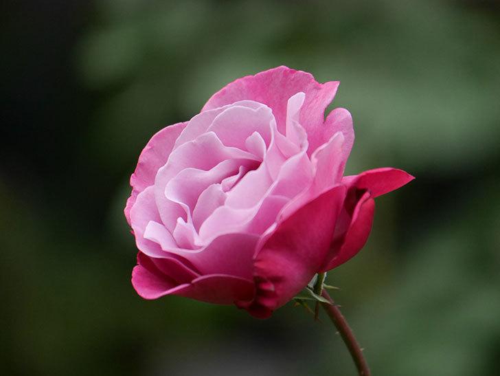 ミュリエル・ロバン(Muriel Robin)の秋花が咲いた。木立バラ。2020年-018.jpg
