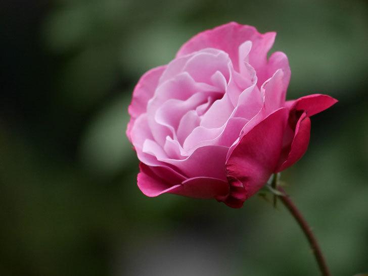 ミュリエル・ロバン(Muriel Robin)の秋花が咲いた。木立バラ。2020年-019.jpg
