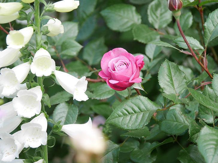 ミュリエル・ロバン(Muriel Robin)の花が1個咲いた。2021年-001.jpg