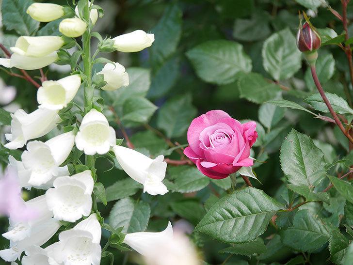 ミュリエル・ロバン(Muriel Robin)の花が1個咲いた。2021年-002.jpg