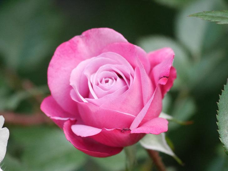ミュリエル・ロバン(Muriel Robin)の花が1個咲いた。2021年-004.jpg
