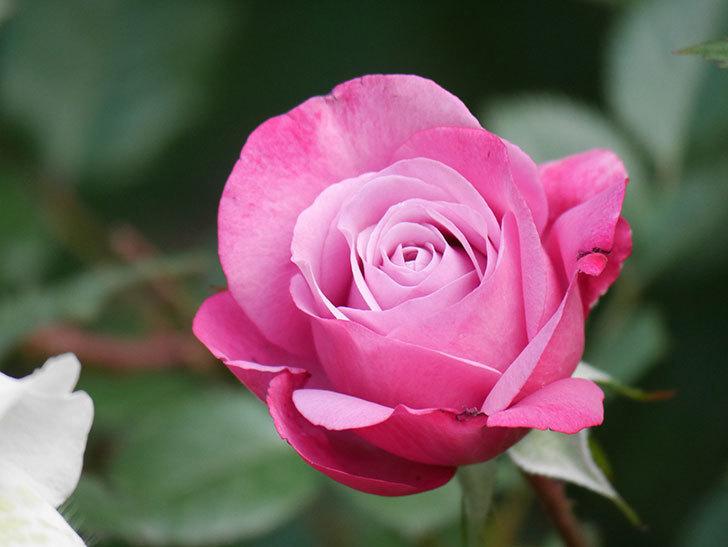 ミュリエル・ロバン(Muriel Robin)の花が1個咲いた。2021年-005.jpg