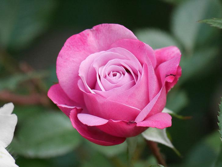 ミュリエル・ロバン(Muriel Robin)の花が1個咲いた。2021年-006.jpg