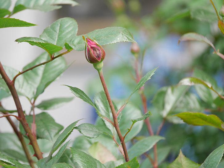 ミュリエル・ロバン(Muriel Robin)の花が1個咲いた。2021年-008.jpg