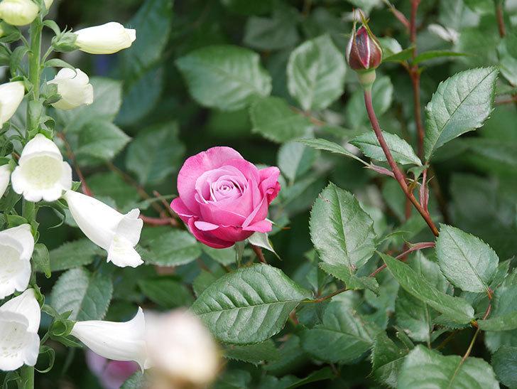ミュリエル・ロバン(Muriel Robin)の花が1個咲いた。2021年-009.jpg