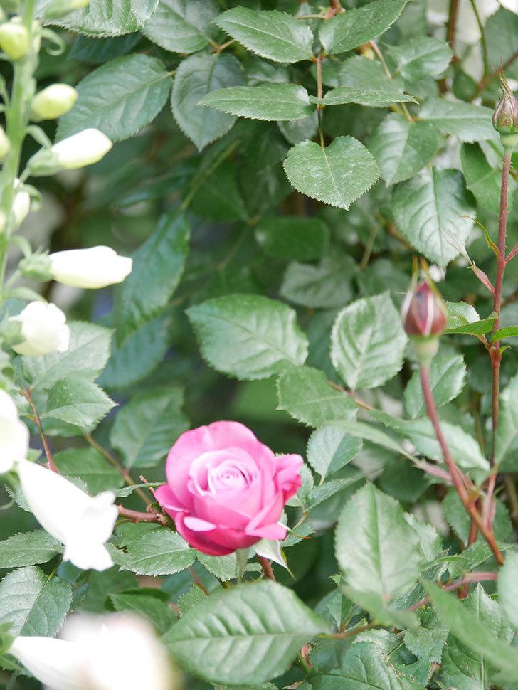 ミュリエル・ロバン(Muriel Robin)の花が1個咲いた。2021年-010.jpg