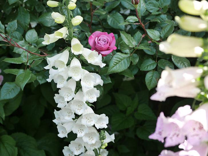 ミュリエル・ロバン(Muriel Robin)の花が1個咲いた。2021年-011.jpg