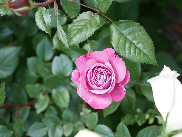 ミュリエル・ロバン(Muriel Robin)の花が1個咲いた。2021年-012.jpg