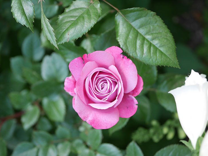 ミュリエル・ロバン(Muriel Robin)の花が1個咲いた。2021年-013.jpg