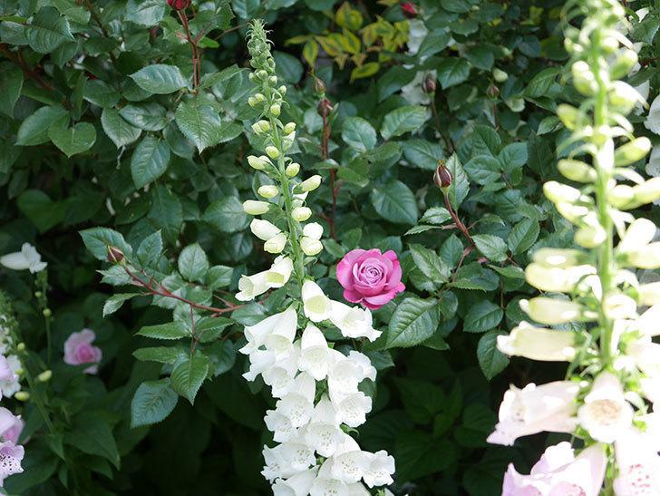 ミュリエル・ロバン(Muriel Robin)の花が1個咲いた。2021年-015.jpg