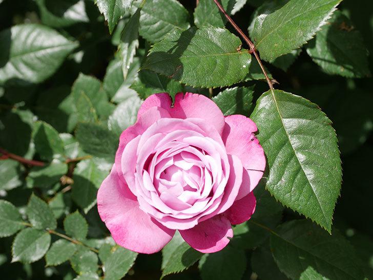 ミュリエル・ロバン(Muriel Robin)の花が1個咲いた。2021年-016.jpg