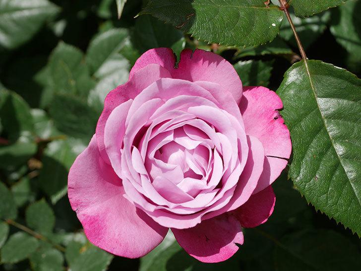 ミュリエル・ロバン(Muriel Robin)の花が1個咲いた。2021年-017.jpg