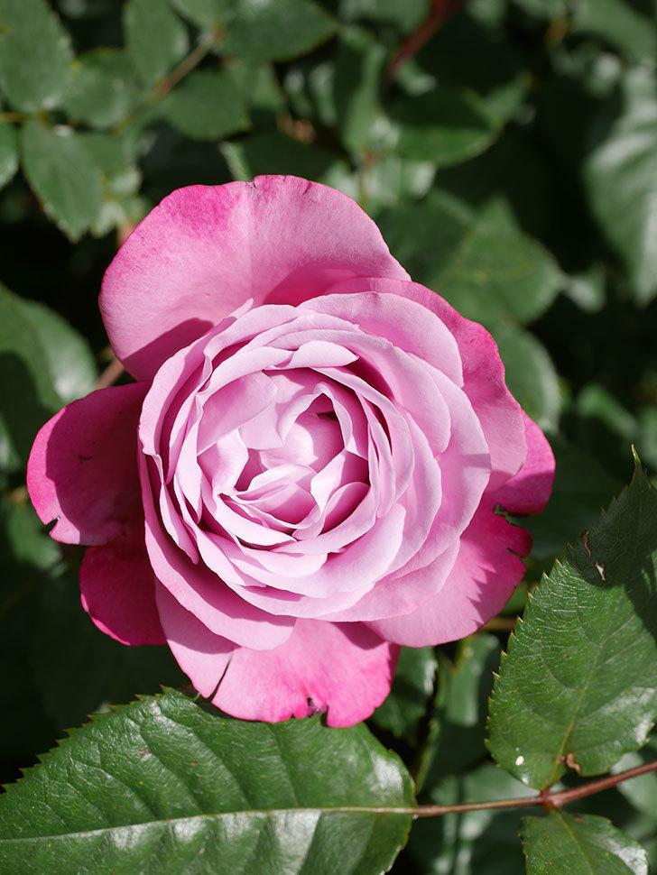 ミュリエル・ロバン(Muriel Robin)の花が1個咲いた。2021年-018.jpg