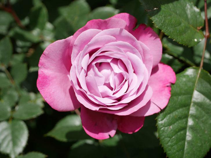 ミュリエル・ロバン(Muriel Robin)の花が1個咲いた。2021年-020.jpg