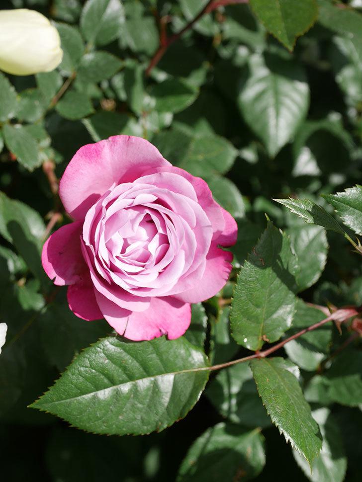 ミュリエル・ロバン(Muriel Robin)の花が1個咲いた。2021年-021.jpg