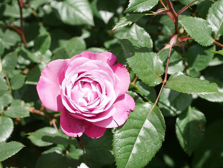 ミュリエル・ロバン(Muriel Robin)の花が1個咲いた。2021年-022.jpg