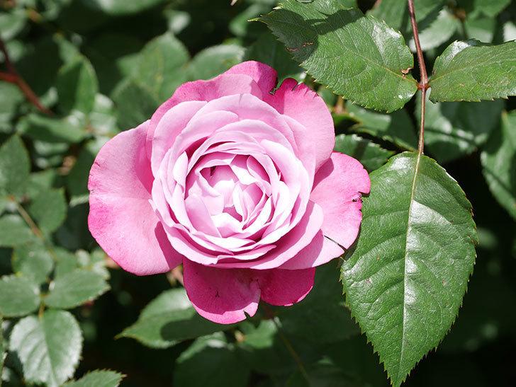 ミュリエル・ロバン(Muriel Robin)の花が1個咲いた。2021年-023.jpg