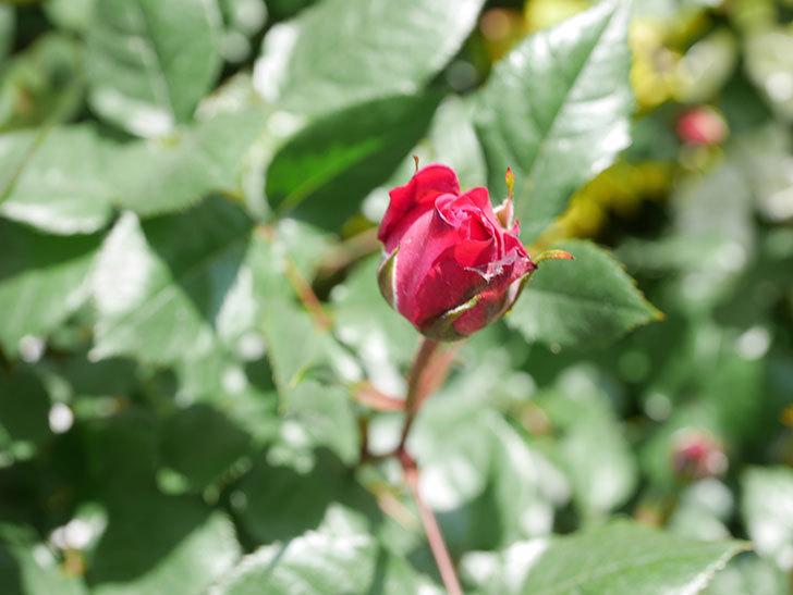 ミュリエル・ロバン(Muriel Robin)の花が1個咲いた。2021年-025.jpg