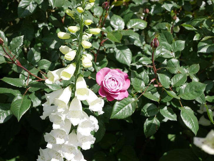 ミュリエル・ロバン(Muriel Robin)の花が1個咲いた。2021年-027.jpg
