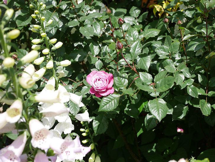 ミュリエル・ロバン(Muriel Robin)の花が1個咲いた。2021年-028.jpg