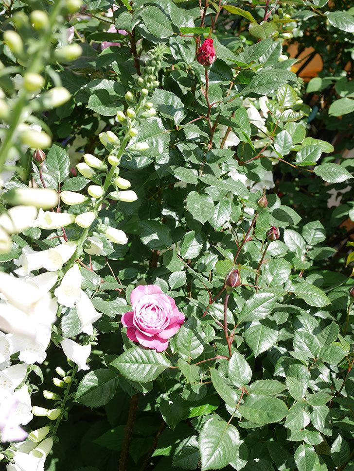 ミュリエル・ロバン(Muriel Robin)の花が1個咲いた。2021年-029.jpg