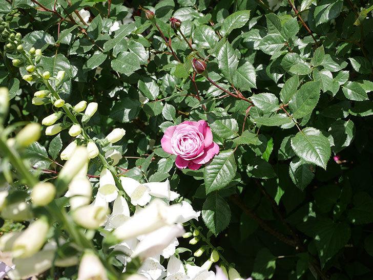 ミュリエル・ロバン(Muriel Robin)の花が1個咲いた。2021年-030.jpg