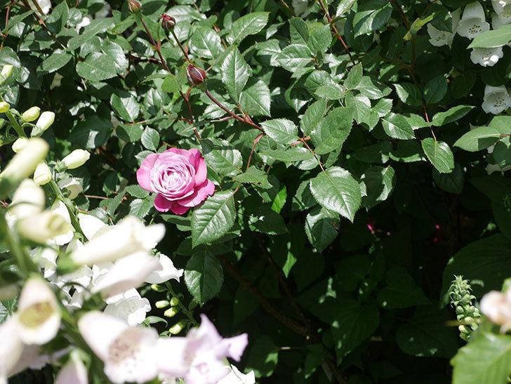 ミュリエル・ロバン(Muriel Robin)の花が1個咲いた。2021年-031.jpg