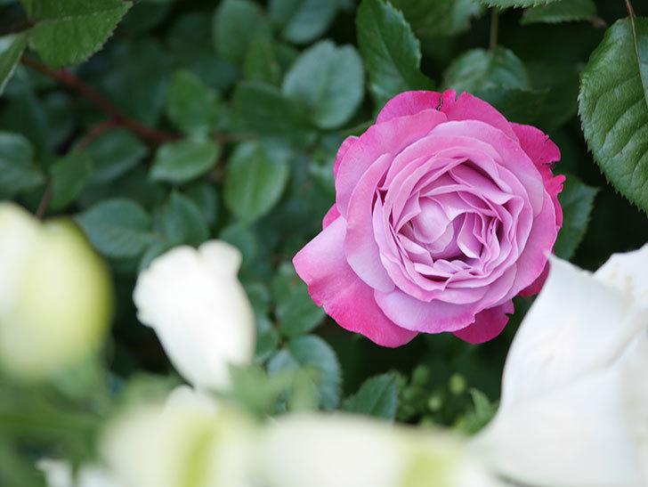 ミュリエル・ロバン(Muriel Robin)の花が綺麗に咲いた。2021年-001.jpg